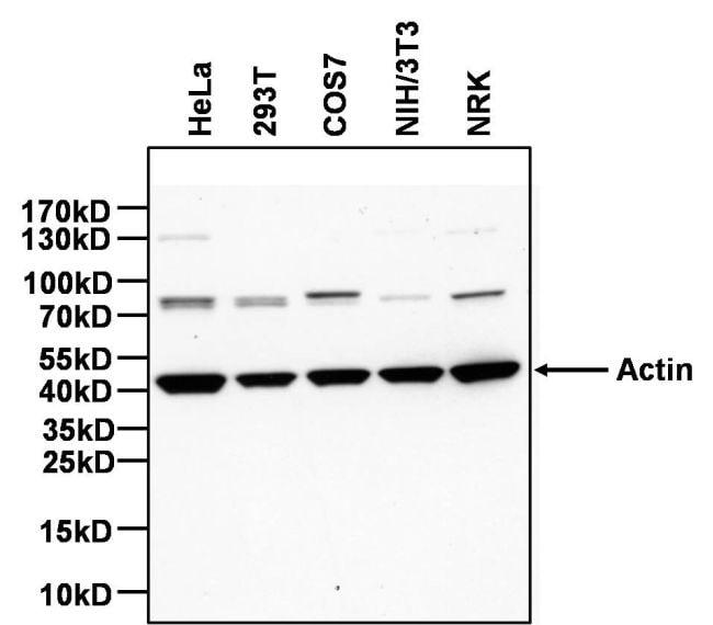 Actin Antibody in Western Blot (WB)