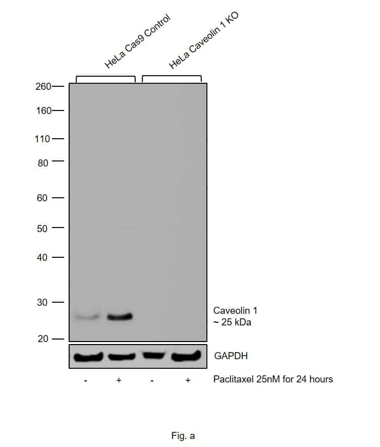 Caveolin 1 Antibody
