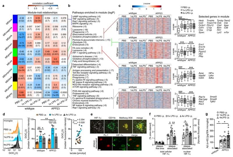 HIF1A Antibody in Immunohistochemistry (IHC)
