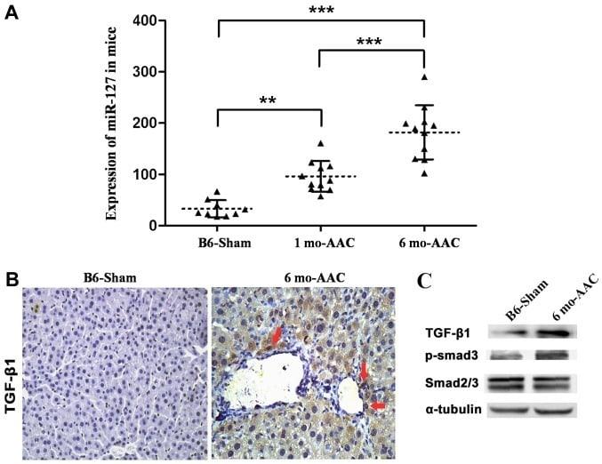 SMAD3 Antibody in Western Blot, Immunohistochemistry (WB, IHC)